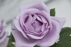 Climber up to 300 mtr high! Lilac Roses, The Outsiders, Garden, Florals, Pink, Amazing Flowers, Life, Floral, Garten