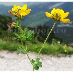 Pret: 950 Lei  • Ghizdeiul este o planta leguminoasa care se descurca pe terenuri acide, unde alte plante furajere nu se descurca. • Are o productivitate buna si o calitate superioara a furajului comparativ cu alte plante furajere leguminoase. • Ghizdeiul este una din putinele leguminoase care au o rezistenta buna la seceta, ger si terenul cu prea multa apa. Lei, Lotus, Lawn, Plant, Lotus Flower, Lily