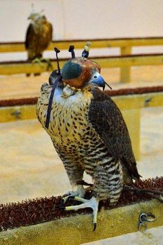 Falcons.  Souq Waqif.  Doha, Qatar.  Shaheen