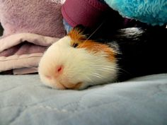 Guinea Pig Bedtime