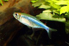 Acrobrycon ipanquianus - no common name