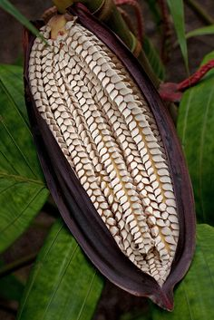 Flower pod of a Pananga Palm. The shape of this is so incredible. Unusual Plants, Exotic Plants, Exotic Flowers, Beautiful Flowers, Planting Seeds, Planting Flowers, Exotic Fruit, Seed Pods, Patterns In Nature