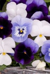 Viola Blueberry Frost Mix -Bedding