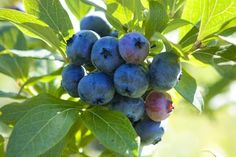 Here's what you need to know to grow blueberries in pots.