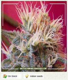 Super Skunk - Amsterdam Marijuana Seeds