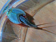 Triops, camarão girino ou camarão escudo