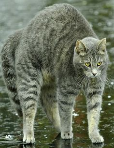 Playful gray cat in the rain..