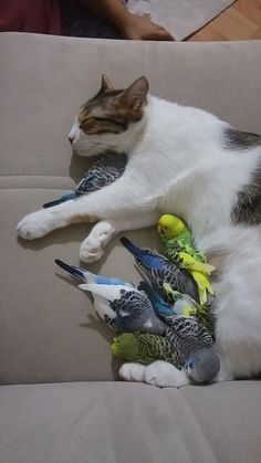 6 parrots share one cat Source by belisimablue dog dog memes. 6 parrots share one cat Source by belisimablue dog dog memes dog videos videos Cute Funny Animals, Cute Baby Animals, Animals And Pets, Cute Cats, Adorable Kittens, Cute Animal Videos, Tier Fotos, Cute Birds, Funny Birds