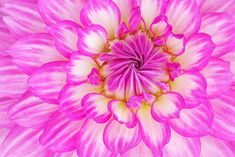 Pink Dahlia - Close-up of a pink dahlia showing its patterns, details, and vibrant colors