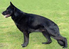 black german shephard dog