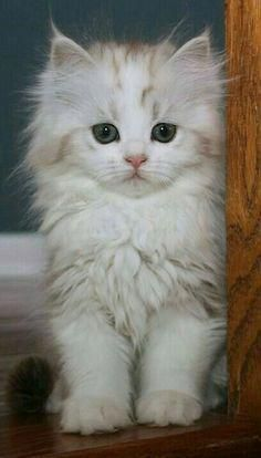 So Many Cute Kittens Videos Compilation 2018 per Cute Puppies And Kittens And Babies around Cute Animals Pictures To Draw Cute Fluffy Kittens, Kittens Cutest Baby, Kittens And Puppies, Cute Cats And Kittens, Baby Cats, I Love Cats, Fluffy Pets, Pretty Cats, Beautiful Cats