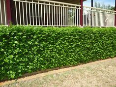 Murraya hedge - I would suggest this for along the front wall of the house. It is the same plant as you have along the side boundary today and thrives in Sydney. In front of the house you will not need to restrict its width as is the case at the side