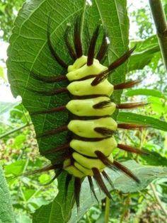 Stinging Flannel Moth Caterpillar, Megalopyge lanata