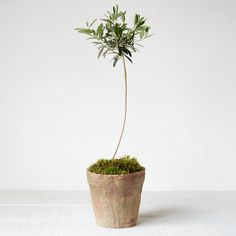 """Bring home a touch of the Mediterranean garden with this olive tree topiary. Each topiary arrives ready for gifting or display in a simple, ceramic pot topped with moss.- A terrain exclusive- Olive tree, soil, moss, ceramic pot- Bright, direct sunlight required- Prefers temperatures 40-80°F- Water thoroughly, allowing soil to dry slightly between waterings- USA26""""H, 6.5"""" diameter pot"""