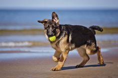 GSD puppy playing on the beach!