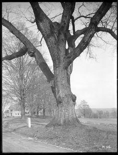 Ulmus americana Massachusetts (Palmer)