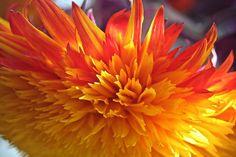fuzzy sunflower