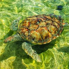 #Turtle #Turtles #GrandCayman #TurtleFarm #GrandCaymanTurtleFarm #Water #Animal #Animals