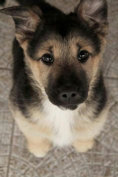 """German Shepard pup, The best dogs ever! personality, sooo loyal and protective and come on, looks, really cute puppies and then sooo """"Regal"""" as adults. Animals And Pets, Baby Animals, Funny Animals, Cute Animals, Funny Dogs, Wild Animals, It's Funny, Funny Faces, I Love Dogs"""