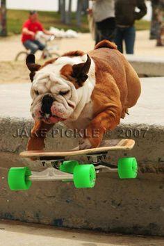 Bulldog en skate