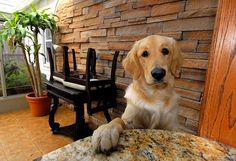 My golden retriever, Ruby, puts her paw on the table too! Lol!