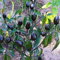 Royal Black Chilli Pepper Seeds 10 - Hledat Googlem