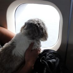 5 Tips For Traveling With Shih Tzus - Shih Tzu Daily