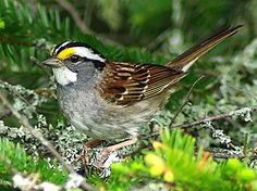 White Throated Sparrow - this poor little guy just hit my sliding glass door; took him a couple of minute to get himself together but did fly off!