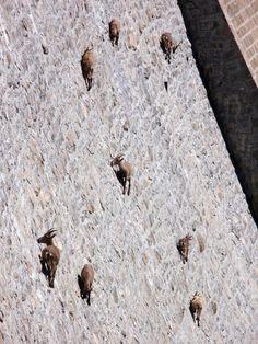Free-climbing extreme ibex