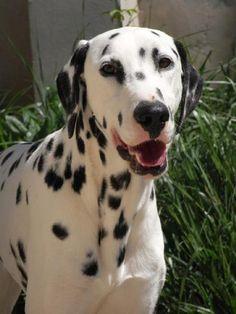 Mascota en adopción en Adoptaloo.com - DAIKI, DALMATA MACHO 18 MESES
