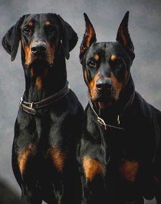 Doberman Puppies, Doberman Love, Doberman Pinscher Dog, Dogs And Puppies, Doggies, Doberman Breed, Blue Doberman, Big Dogs, I Love Dogs