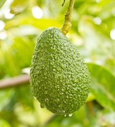Hass Avocado in the rain | La Fuji Mama  There are three groups of avocados: Hawaiian, Mexican, and Guatemalan.   Hass Avocados belong to the Guatemalan category and are known for being creamy and loaded with healthy fats.