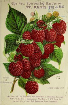 Henry G Gilbert Nursery & Seed Trade Catalogue Collection 1916 - Raspberries