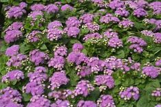 26 Mosquito Repellent Plants - Plant Care Today