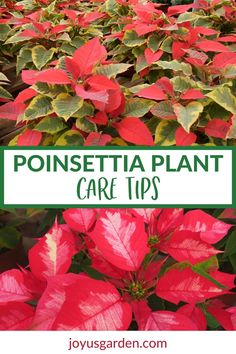 Poinsettias can be tricky to maintain indoors even for a few weeks. These Poinsettia plant care tips can help keep yours alive & looking good. Garden Plants, Indoor Plants, House Plants, House Plant Care, Christmas Cactus Care, Christmas Plants, Small Yellow Flowers, Poinsettia Plant, Household Plants