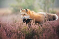 Meet Freya, The Beautiful Fox I Photographed In Polish Woods