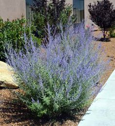Here are a few of our favorite drought tolerant shrubs for more temperate climates including some that you may already have in your garden.