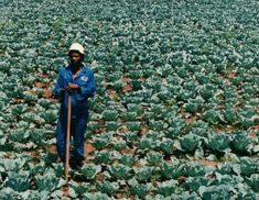 Black Farmers Shut Out Of $10 Billion Legal Marijuana…