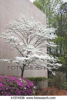 Photo of A pink azalea and a white dogwood tree at a landscaped building - kwitnące drzewa i krzewy i . Dogwood Trees, Trees And Shrubs, Flowering Trees, Trees To Plant, Pink Dogwood, Garden Shrubs, Garden Trees, Shade Garden, Baumgarten