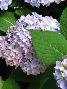 Pure Style Home: Hydrangea Time