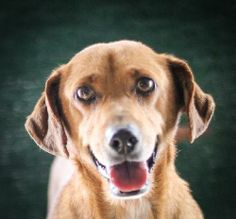 Meet Oakie-0876 a Petfinder adoptable Dachshund Dog | Wolfe City, TX | ~~~~~~~~~~~~~~~~~~~~~~~~~~~~~~~~~~~~~~~~~~~~~~~~~~~~~~~   The Frank Barchard Memorial Animal...