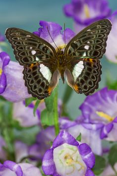 Tropical Butterfly Moduza lymire lymire