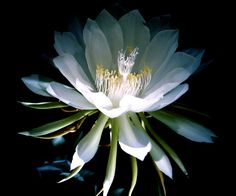 Night blooming cactus (EPIPHYLLUM OXYPETALUM). A nocturnal and fragrant bloom. Odor profile: tropical cactus plant with flowers which smell like vanilla