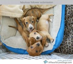 Dachshund Puppies too cute for words