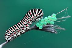 Catterpillar and eggs By Mustafa