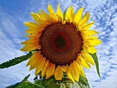 SUNfloWER (BlueisCoool) Tags: flickr foto photo image capture picture photography nikon coolpic l330 color colorful yellow bold bright beautiful pretty vivid plant sunflower flower flowers bloom sky outdoor outdoors nature pattern florida organicpattern alazelacommunitygarden stpetersburgflorida