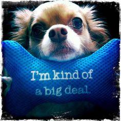 A BIG deal :) (long hair Chihuahua)