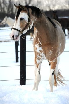 Gorgeous pinto horse