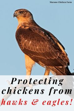 Cute Chickens, Backyard Chickens, Raising Chickens, Chicken Story, Chicken Pictures, Chicken Humor, Raptors, Coops, Hawks