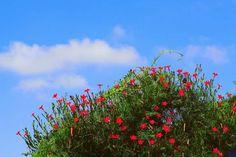 유홍초 Wild Flowers, Wildflowers